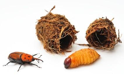 picudo-rojo-larva