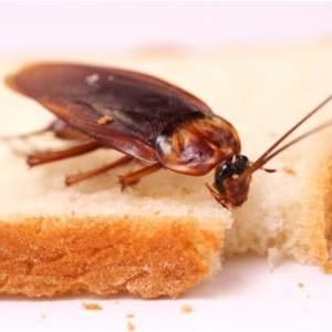 cucaracha-comida